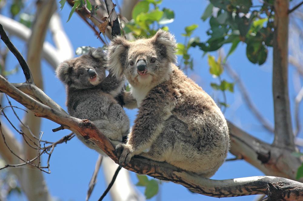 Cruise Australie - koala beer