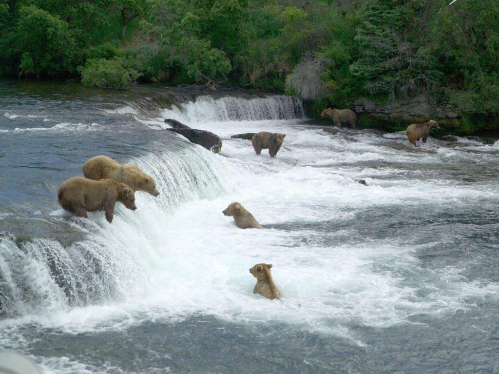 Alaska-bruine beren aan het vissen