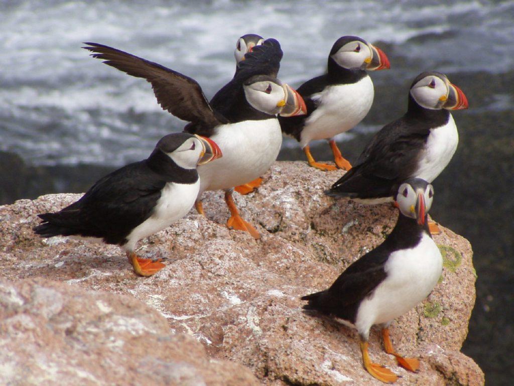 Alaska-papegaaiduikers-Cruisemarkt