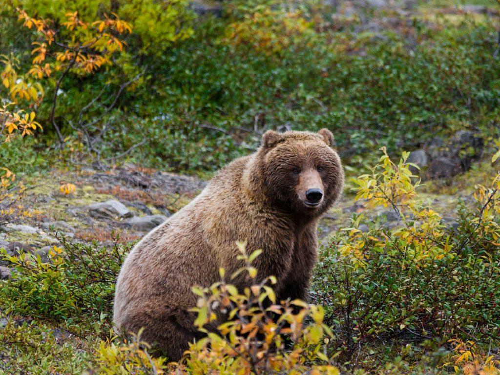 Alaska grizzly beer