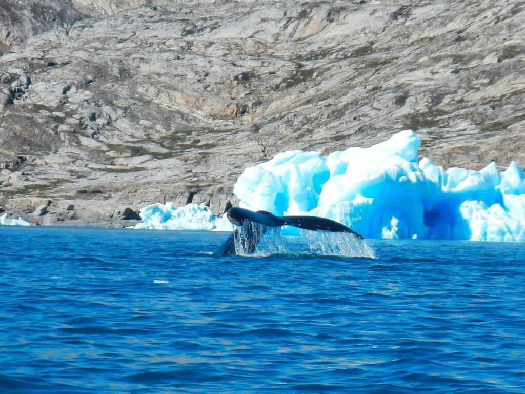Groenland walvis