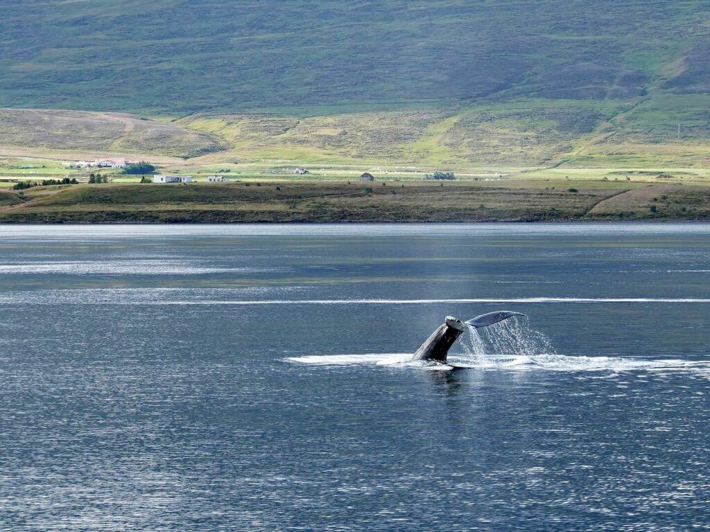 IJsland walvissen