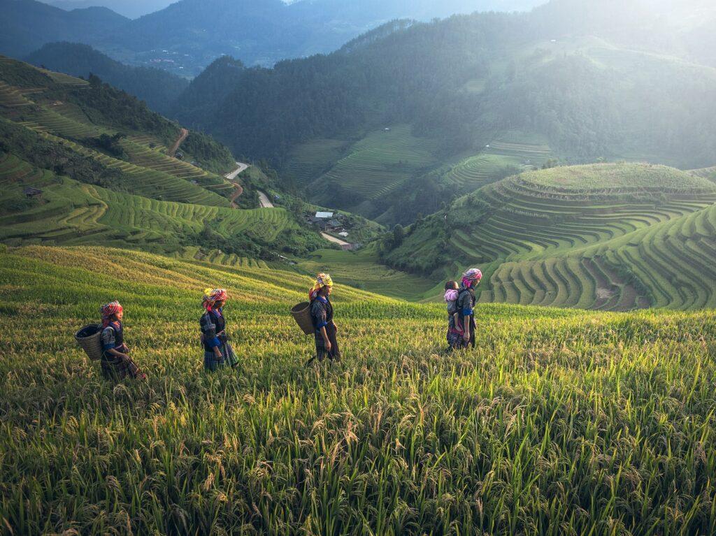 vrouwen aan het werk in de rijstvelden van vietnam