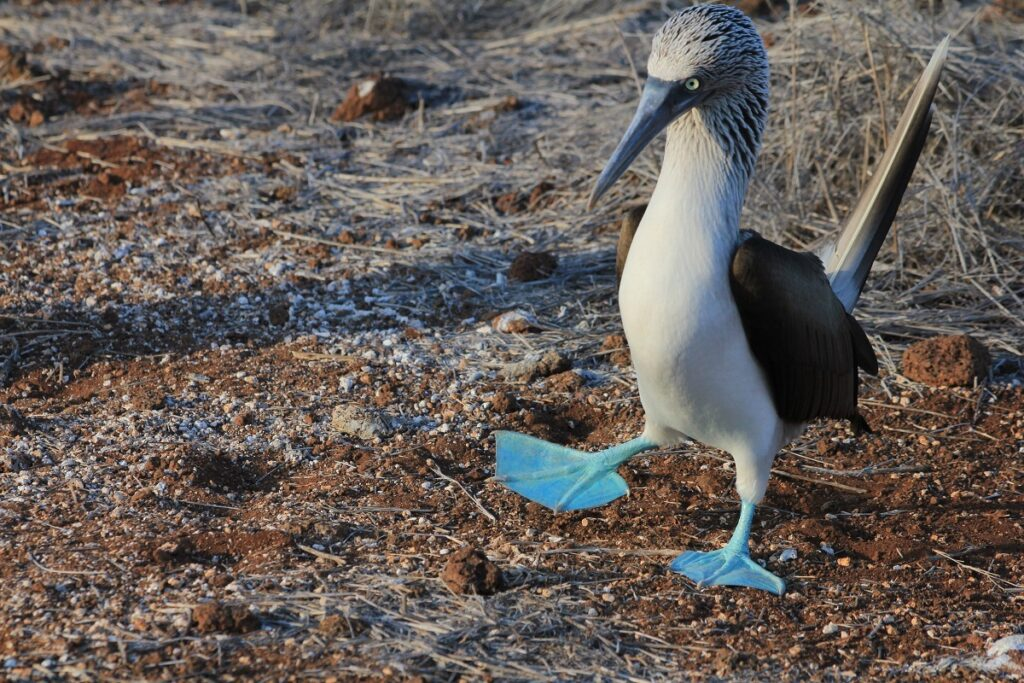blaouwvoet jan van gent in de galapagos