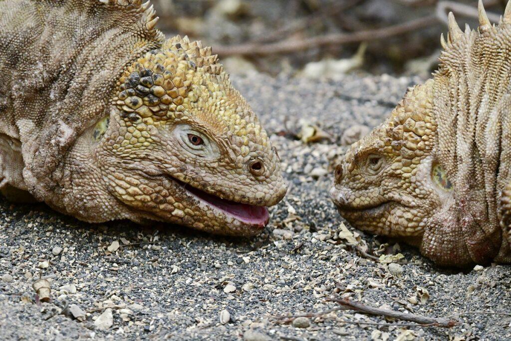 twee landleguanen in Galapagos