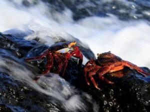 Galapagos lightfootsally crab