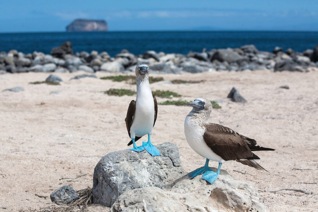 Silver Origin in Galapagos met de Blauwvoetgent